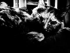 Ella (Josu Sein) Tags: cat gato love amor lovely adorable pretty preciosa monochrome monocromo highcontrast altocontraste animalism animalismo veganism veganismo antispeciesism antiespecismo animalrights derechosanimales mystery misterio cinematic cinemático portrait retrato antisp