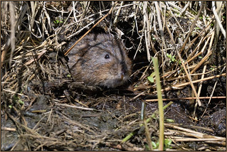 Water Vole (image 1 of 2)