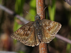 Erynnis tages - Dingy skipper - Тагес (Cossus) Tags: 2018 erynnis hesperiidae pyrginae чёрная толстоголовка skipper