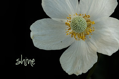 . (Karl's Gal) Tags: anemone woodlandflower spring karlsgal shadegarden anomaly stalbertbotanicalpark