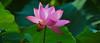In Sunlight (khoitran1957) Tags: nature vietnam lotus flower lake