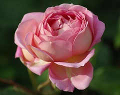 Rose -5- (mamietherese1) Tags: ngc wonderfulworldofflowers world100f earthmarvels50earthfaves
