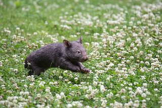 Miniwombat in Fahrt
