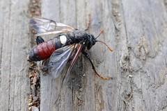 Birch sawfly (tts.) Tags: koivunuijapistiäinen ukkonuijapistiäinen cimbexfemoratus