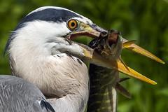 Heron (mond.raymond1904) Tags: heron dublin fish closeup grand canal