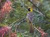 Hooded Oriole (Hockey.Lover) Tags: hoodedoriole birds myyard backyardbirds backyard grevillea explore