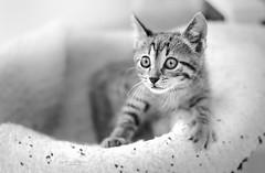 in position and ready (Ifigeneia Vasileiadis) Tags: cat feline fur blackandwhite alert cautious kitten whiskas
