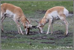 The Facts of Life 8493 (maguire33@verizon.net) Tags: yellowstonenationalpark wyoming unitedstates us