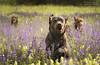 Happyness (Cristina Laugero) Tags: chocolate labrador retriever doc cane chien perro glovers grass prato fiori fiorito spring gioia felicita happyness happy fun run correre
