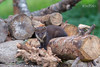 Pine Marten Kit (Karen Miller Photography) Tags: animal nature wildlife naturenuts perthshire hide nikon behaviour habitat scotland scottishwildlife pine marten pinemarten mustelid baby kit juvenile