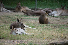 Australia_2018-39.jpg (emmachachere) Tags: subtropical trees hike waterfall boatride springbrook australia rainforest kanagroo animals koala brisbane boat lonepinekoalasanctuary