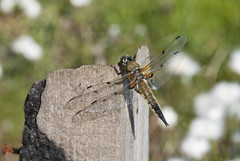 Four Spotted Chaser (mmcad) Tags: four spotted chaser dragonfly langlands moss nature reserve east kilbride glasgow scotland peat bog cotton perch insect wildlife