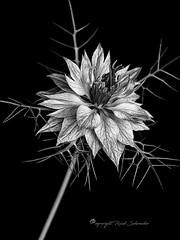 Love-in-a-mist (Ruud.) Tags: ruudschreuder nikon nikond810 d810 105mm 105mmf28 macro makro bw zwartwit monochrome blackandwhite blackwhite natuur natur nature bloem flower blum fleur juffertjeinhetgroen loveinamist jungferimgrünen nigella damascena raggedlady devilinthebush skancheli