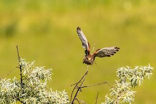 Kestrel ♀ returning to perch