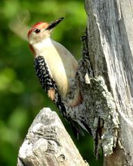 RBWoodpecker (21) (TerraPuella) Tags: red bellied woodpecker spring tennessee may bird