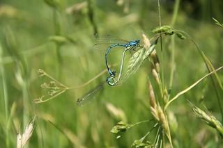 Blaue Federlibelle / Blue Featherleg ( Platycnemis pennipes )