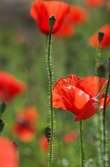FMM - Früher Mittwochs-Mohn ! (eulenbilder) Tags: mohn rot blüten