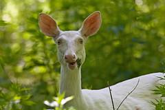 WHITEY 2 (ddt_uul) Tags: deer whitetaildeer albino geneticvariation pink green whiskers forest doe newyearseve ddtuul