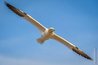 Fly-By Gannet