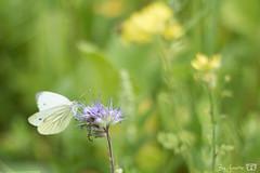 DN9A4460 (Josette Veltman) Tags: dravogel tuinen homeopatisch harde tharde gelderland garden herbs kruiden medicinaal vlinders groen natuur nature geaderd witje geaderdwitje vlinder insect