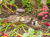 Lossie-180522-5212541.jpg (mike_reid.5710) Tags: morayfirth sparrow lossie scotland wildlife birds lossiemouth