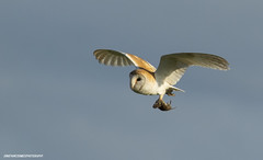 Barn Owl (jonathancoombes) Tags: owl barn raptor prey bird birds sky nature wildlife explore