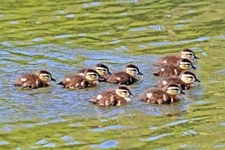 Wood Duck Ducklings 18-0505-4581
