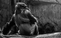 The Old Cheek Lift (Robert Streithorst) Tags: cincinnatizoo gorilla male mishindi robertstreithorst silverback zoosofnorthamerica