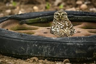 Kwik Fit Little Owl (3 of 3)