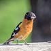 Black-headed Grosbeak (m)