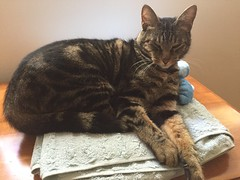 Kimo, towel warmer (artnoose) Tags: towels grey gray black brown tabby cat kimo