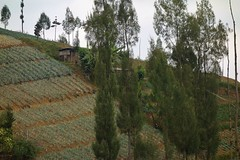 INDONESIEN, Java, Obst- und Gemüseanbau an den Hängen des  Tengger-Vulkanmassivs, 17505/10082 (roba66) Tags: urlaub reisen travel explore voyages visit tourism roba66 asien asia inselstaat java geüseanbau landwirtschft lavaerde hang terassen landschaft landscape paisaje nature natur naturalezza baum bäume tree trees arbes arboles alberi indonesien ondonesia