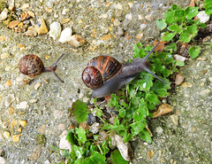 Snail activity:  24.5.18. (VolVal) Tags: dorset bournemouth boscombe garden patio green weeds snails may