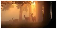 Three amigos (stephen.darlington) Tags: silhouette sunrise misty stag reddeer bushypark