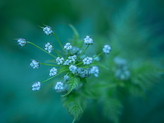 cow parsley with cool colour temp~ in Explore (Wendy:) Tags: explored kelvin cool cowparsley blue