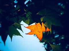 No hay hoja verde que se vuelva amarilla sin el consentimiento del árbol. (FOTOS PARA PASAR EL RATO) Tags: cdmx ecología atardecer naranja verde amarillo arboles hojas