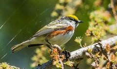 IMG_5875 Chestnut Sided Warbler (Wallace River) Tags: chestnutsidedwarbler