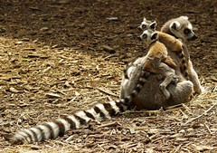 Lemurs (9) (Simon Dell Photography) Tags: lemurs playing with old box egg yorkshire wildlife park doncaster uk england spring day images high res animals zoo captive rare wild life simon dell photography tog 2018 may sunny cute babys young lots funny awesome