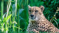 IMG_1857 (brian.a.stamper) Tags: acinonyxjubatus cheetah animal mammal
