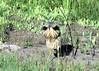 Onk-a-Chonk!!! (Patricia Henschen) Tags: americanbittern bird wading wetland alamosanationalwildliferefuge alamosa colorado nationalwildliferefuge sanluisvalley call onkachonk american bittern