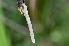 Oruga disfrazada de palito (esta_ahi) Tags: canràfols oruga larva larvae caterpillar lepidoptera insectos fauna avinyonet penedès barcelona spain españa испания
