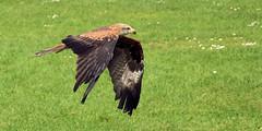 Havenstreet Falconry, Isle of Wight (davids pix) Tags: haven havenstreet falconry birds prey falcon kestrel sparrowhawk isle wight 2018 26052018