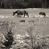 Cérvols i cavalls (Tete07) Tags: bn bw blancoynegro blancinegre blackandwhite cérvols ciervos caballos cavalls pirineus pirineos lleida plana de son