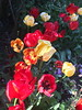 Tulip medley (markshephard800) Tags: tulips tulpen flowers fleurs blumen bloemen fiori garden jardin jardim garten giardino tuin red yellow colours colors colourful couleurs colorful