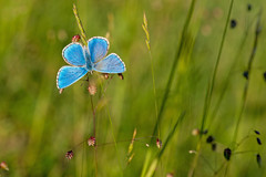 Adonis Blue (Artisanart) Tags: adonis blue butterfly west sussex south downs nature national reserve park wildlife insect lepidoptera macro