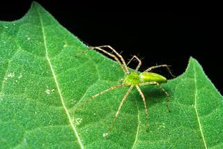 Young Green Lynx Spider (Peucetia viridans)