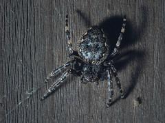 Nuctenea umbratica (Phil Stronge) Tags: nuctenea umbratica walnut orb weaver spider arachnid invertebrate wildlife nature macro olympus uk