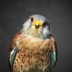 Inquisitive Kimi (FocusPocus Photography) Tags: turmfalke kestrel falke falcon vogel bird greifvogel birdofprey tier animal wildparadies tripsdrill