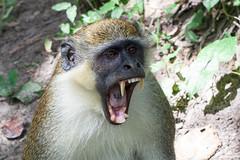 Big Yawn, Monkey Park, The Gambia (Geraint Rowland Photography) Tags: yawn yawning monkey monkeyyawning tired animalexpression animalyawning wwwgeraintrowlandcouk banjulinthegambia gambia monkeysofthegambia teeth animalteeth monkeyteeth hunter wildlife nature nationalgeographic geraintrowland geraintrowlandgettyphotographer geraintrowlandafricanphotos travelinwestafrica