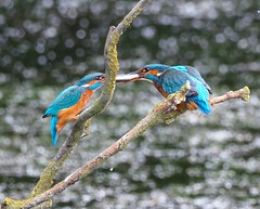 Kingfishers - To me, to you! (kc02photos) Tags: kingfisher alcedoatthis ryemeads hertfordshire england uk birdphotography